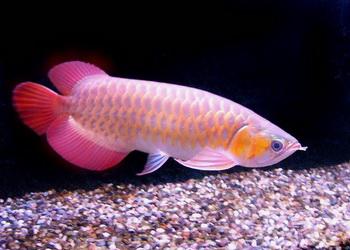 cavang1 Cá vàng trong phong thủy
