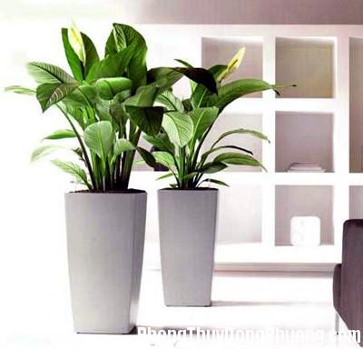 cay la to Phong thủy đặt cây xanh trong phòng