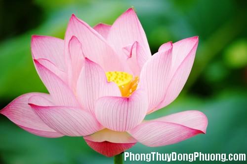 582 hoapt1 Những loại hoa mang ý nghĩa tốt lành trong phong thủy
