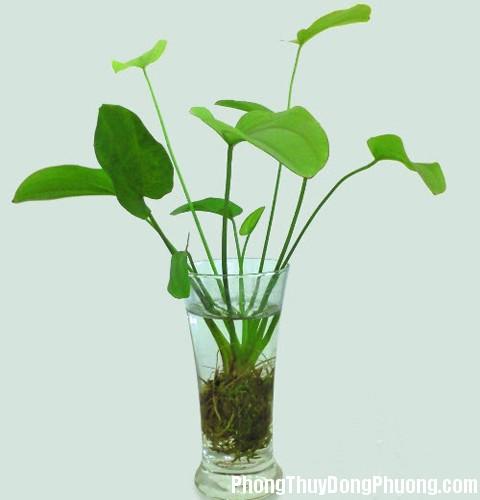 cay bach thuy tien Phong thủy cây xanh giảm stress mang lại vận may
