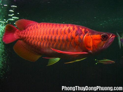 ca rong do Cá rồng đỏ sẽ mang lại sự may mắn và thịnh vượng cho gia chủ