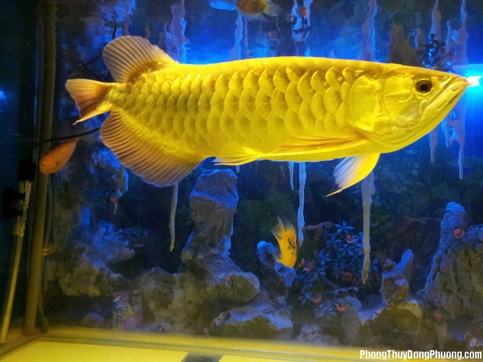 10655d1349671400 mot em 24k9999 tang cac bac 20121003 222005 Chọn vị trí đặt bể cá kim long