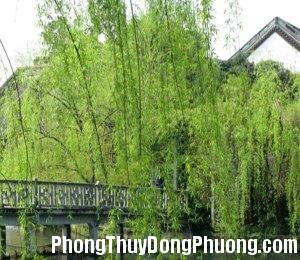 2521 lieu Cây liễu có thích hợp khi trồng trước cửa nhà?