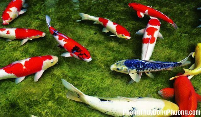 004708baoxaydung 5 Phong thủy cần biết khi chơi cá Chép