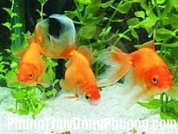 choicacanhtheophongthuy2 Kiến thức phong thủy cho những người thích chơi cá cảnh
