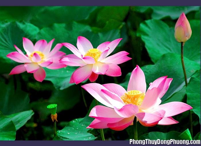 Hoa sen Giải mã các bí ẩn giấc mơ thấy đài hoa sen