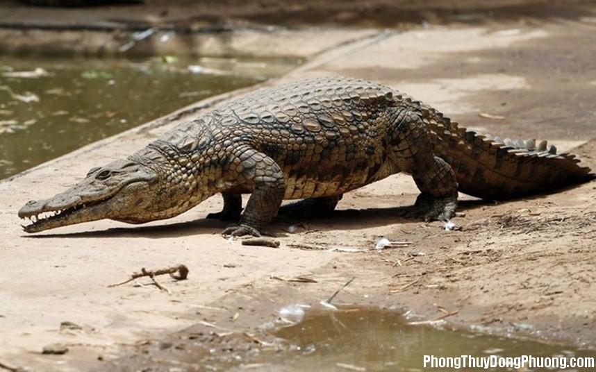 ca sau Giải mã các bí ẩn giấc mơ thấy con cá sấu