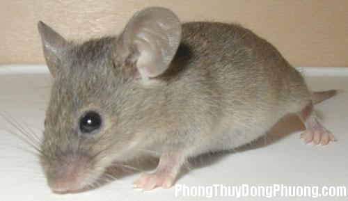 chuot Giải mã các bí ẩn giấc mơ thấy hình ảnh chú chuột