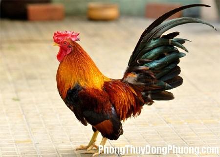 ga trong Giải mã các bí ẩn giấc mơ thấy con gà trống đang gáy