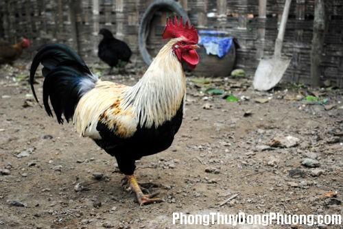 ga Giải mã các bí ẩn giấc mơ thấy con gà