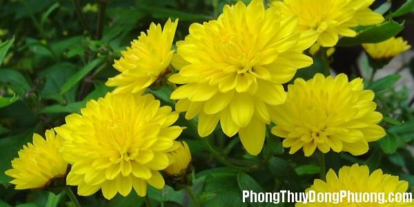 hoa cuc Giải mã các bí ẩn giấc mơ thấy bông hoa cúc