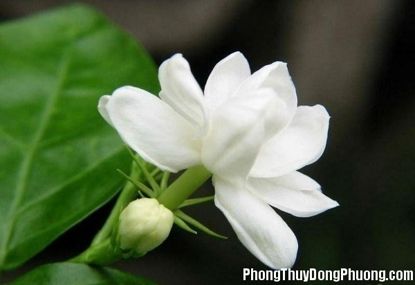 hoa nhai Giải mã các bí ẩn giấc mơ thấy bông hoa nhài
