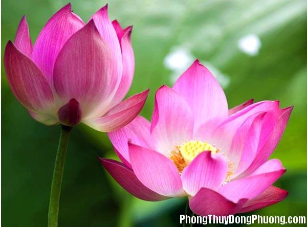 hoa sen Giải mã các bí ẩn giấc mơ thấy bông hoa sen