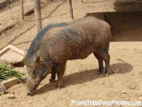 lon rung Giải mã các bí ẩn giấc mơ thấy con lợn rừng đực