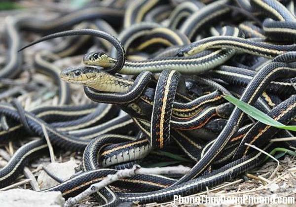 ran Giải mã các bí ẩn giấc mơ thấy có nhiều rắn