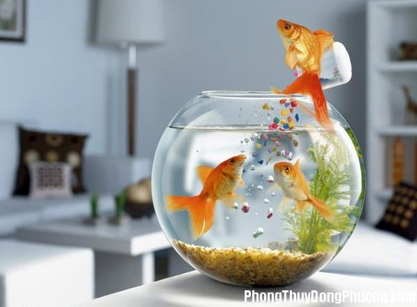 ca vang Nuôi cá vàng để kích hoạt vận may