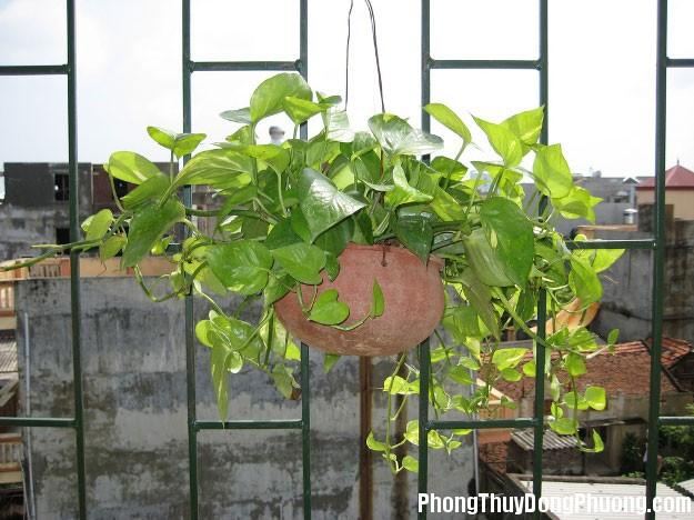 cay kim tien Những loại cây phù hợp để trồng ở ban công