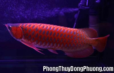 Red Dragon Fish Nuôi cá rồng đỏ mang lại thịnh vượng và may mắn