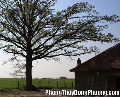 cay to Phong thủy hóa giải cho nhà có cây to án ngữ phía trước