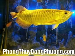 images 1 Cách nuôi cá vàng trong phong thủy