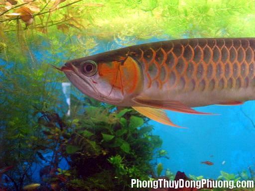 kimlong Ý nghĩa của cá Kim Long trong phong thủy