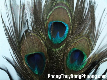 31 DOOL TT 120525 HT6 2 Ý nghĩa phong thủy của lông chim công