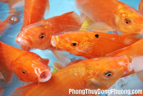 ca nuoi 2 1340191777 Số lượng và màu sắc cá nuôi đem lại may mắn
