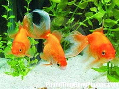 ca nuoi3 1340191791 Số lượng và màu sắc cá nuôi đem lại may mắn