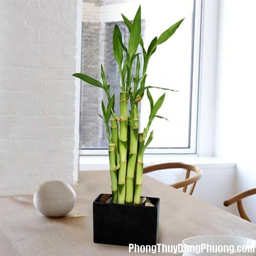 275 phat1 Cách trồng cây phát lộc đem lại thịnh vượng cho nhà ở