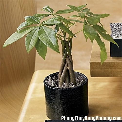 clip image006 Chọn cây trồng phòng khách giúp gia chủ nhanh phát tài