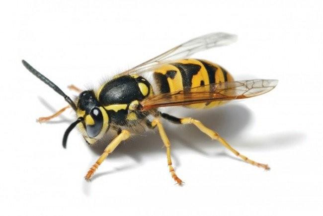 ong vo ve lam to la diem gi Ong vò vẽ làm tổ trong nhà là điều tốt hay xấu?