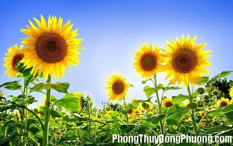151251 hoa huong duong Những loại hoa có tác dụng khai vận cho phòng làm việc