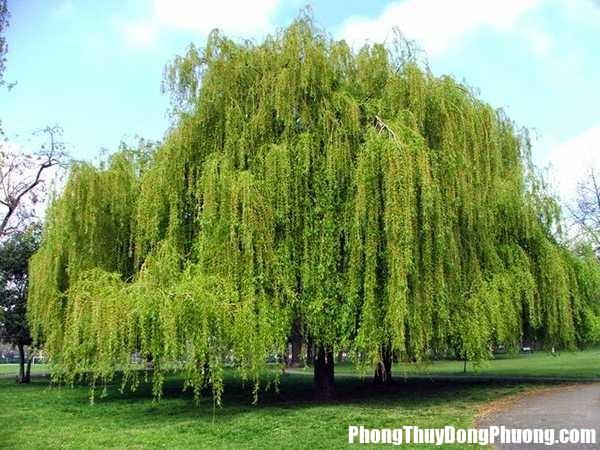 20170327162636 d444 Những loài cây không nên trồng tại nhà kẻo rước xui